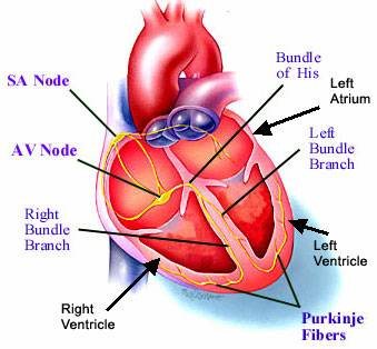 how to make working model of heart pumping blood